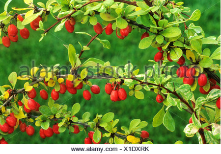 Berberis thunbergii 'Baum' barberry red berry berries fruit fruits garden plant plants barberries - Stock Photo