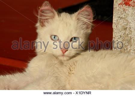 White cat with blue eyes - Stock Photo