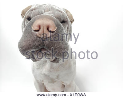 Australia, Tasmania, Sniffing Shar pei - Stock Photo