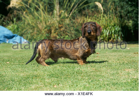 SIDE VIEW OF WIRE-HAIRED DACHSHUND STANDING IN YARD / IRELAND - Stock Photo