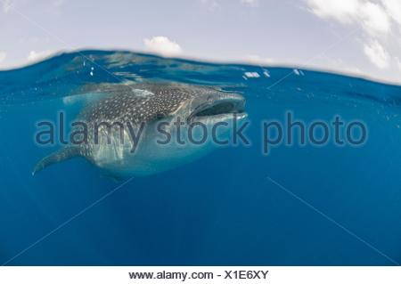 Underwater view of giant whale shark feeding on fish eggs, Contoy Island, Quintana Roo, Mexico - Stock Photo