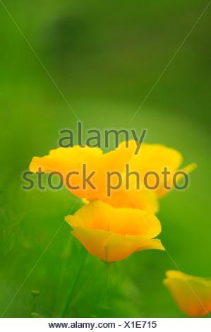 Californian Poppy (Eschscholzia california) - Stock Photo