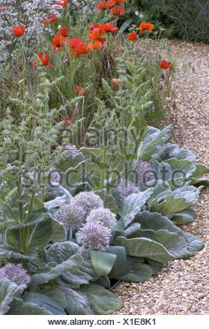 Salvia argentea and Allium karataviense forming a silver edge to a border with bright wild poppies alongside a gravel path. - Stock Photo