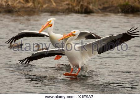 American white pelican (Pelecanus erythrorhynchos), Rocky Ford Creek Water Access Site, Washington. - Stock Photo