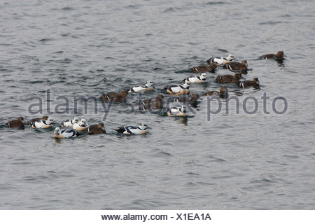 Foraging group of Steller's Eider - Stock Photo