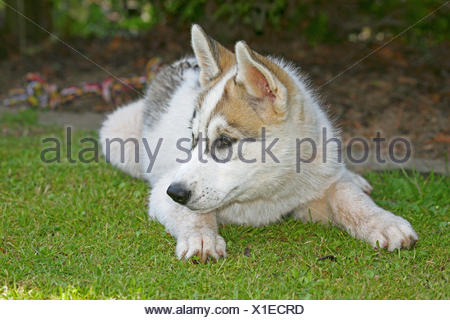 Siberian Husky (Canis lupus f. familiaris), puppy lying in a meadow - Stock Photo
