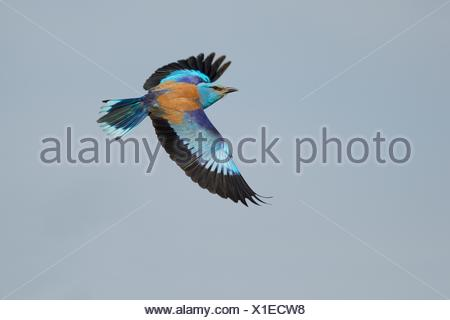 European roller (Coracias garrulus), flying, Kiskunság National Park, Hungary - Stock Photo
