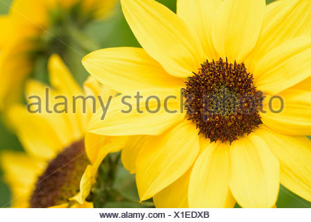 Sunflower, Common sunflower, Helianthus annuus, Close up detail of yellow coloured flower growing outdoor. - Stock Photo