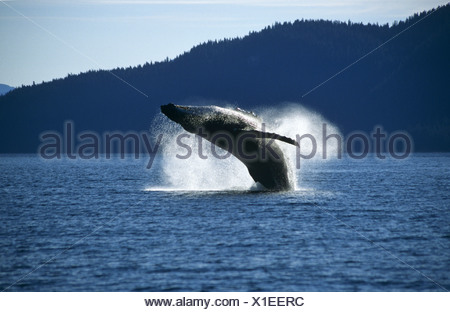 Humpback Whale breaching, Tenakee Inlet, Southeast. Alaska - Stock Photo