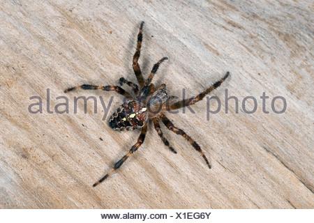 cross orbweaver, European garden spider, cross spider (Araneus diadematus), sitting on deadwood, Germany - Stock Photo