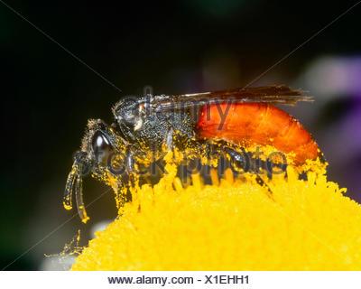 Grosse Blutbiene, Grosse Blut-Biene (Sphecodes albilabris), Weibchen bei der Nektaraufnahme auf Margerite (Leucanthemum vulgare) - Stock Photo