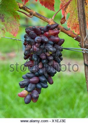 grape-vine, vine (Vitis vinifera 'Souvenier', Vitis vinifera Souvenier), cultivar Souvenier - Stock Photo