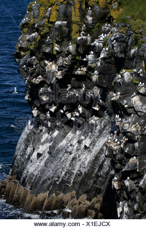 Basalt rocks with kittiwakes (Larus tridactylus) - breeding colony at the volcanic coast of Iceland - Snaefellsnes peninsula, I - Stock Photo