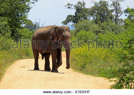 Sri Lanka Elephant, Asiatic elephant, Asian elephant (Elephas maximus, Elephas maximus maximus), walking on a path and feeding , Sri Lanka, Udawalawe National Park - Stock Photo