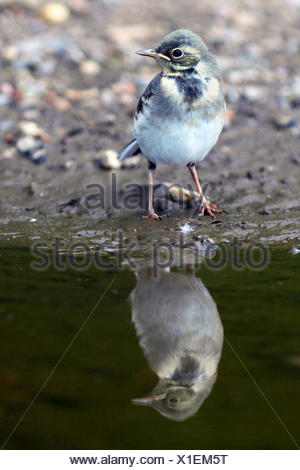 Pied wagtail, Pied white wagtail (Motacilla alba), juvenile at water with mirror image, Germany - Stock Photo