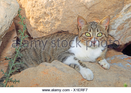 domestic cat, house cat (Felis silvestris f. catus), lying between rocks - Stock Photo