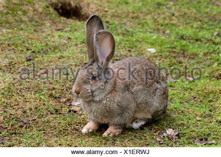 domestic rabbit (Oryctolagus cuniculus f. domestica), Deutscher Riese - Stock Photo