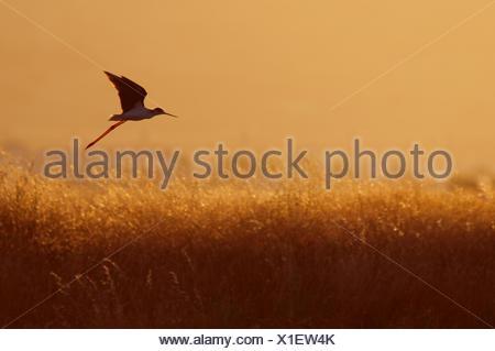 Black-winged stilt (Himantopus himantopus) in flight over long grasses at dusk, Lesbos, Greece - Stock Photo