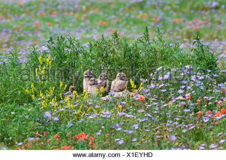 Burrowing owl (Athene cunicularia), chicks at burrow among flowers, near Pawnee National Grassland, Colorado. - Stock Photo