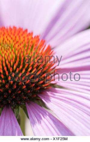 Echinacea purpurea 'Magnus', Echinacea, Purple coneflower, . - Stock Photo