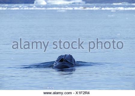 humpback whale (Megaptera novaeangliae), emerging, Greenland, Ilulissat, Disko Bay - Stock Photo