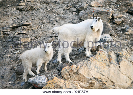Mountain Goats (Oreamnos Americanus) nanny and kid on rocks. Jasper National Park, Alberta, Canada. - Stock Photo
