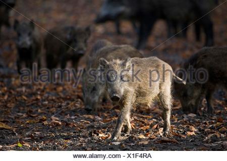 wild boar piglets, in Saupark, Springe, Lower Saxony, northern Germany - Stock Photo