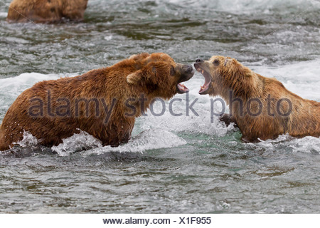 Two Brown Bear males fight in the water near Brooks Falls, Brooks Camp, Katmai National Park, Southwest, Alaska, Summer - Stock Photo