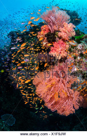 A colourful reef scene with seafans (Melithaea sp.) soft corals (Dendronephthya sp) and mainly female scalefin anthias (Pseudanthias squamipinnis). Ra Province, Viti Levu, Fiji, Polynesia. Bligh Waters, Vatu-i-Ra Passage, Tropical South Pacific Ocean - Stock Photo