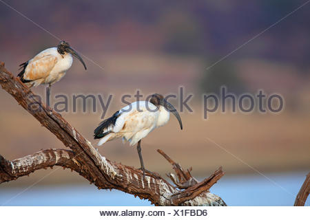 sacred ibis (Threskiornis aethiopicus), two ibises standing on a dead tree, South Africa, Pilanesberg National Park - Stock Photo