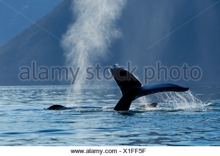 A Humpback Whale lifts its flukes as it dives down into Stephens Passage, Admiralty Island, Inside Passage, Alaska, Autumn - Stock Photo