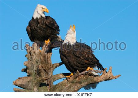 Bald Eagle Haliaeetus leucocephalus - Stock Photo