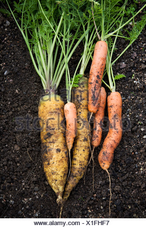 Heap of fresh carrots in vegetable garden - Stock Photo