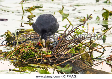 black coot (Fulica atra), in its nest with egg and hatched chicks, Germany, Bavaria - Stock Photo