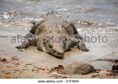 In Isla Coiba National Park,an american crocodile rests in the water. - Stock Photo