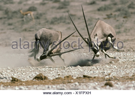 Gemsbok (Dryx gazella) two adult males, fighting, Etosha N.P., Namibia - Stock Photo