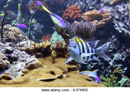 Berlin, Germany, Panamanian sergeant fish in an aquarium - Stock Photo