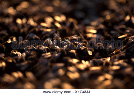 Honey bees work illuminated at sunset in a beehive of an apiary of Puremiel beekeepers in Arcos de la Frontera, Cadiz province, - Stock Photo