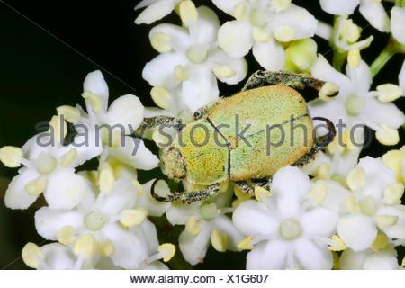 Scarab (Hoplia argentea, Hoplia farinosa), sitting on an umbellifer, Germany - Stock Photo