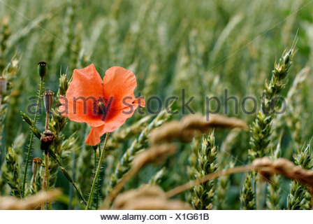 Muenster, Germany, poppy in a cornfield - Stock Photo