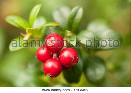 Berries of lingonberry - Stock Photo