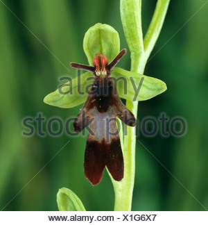 Fly orchid (Ophrys insectifera) typical orchid floret - Stock Photo