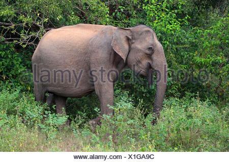 Sri Lanka Elephant, Asiatic elephant, Asian elephant (Elephas maximus, Elephas maximus maximus), on the feed, Sri Lanka, Yala National Park - Stock Photo
