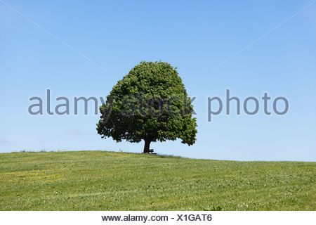 Large-leaved Lime (Tilia platyphyllos), Irschenberg, Oberland, Upper Bavaria, Bavaria, Germany, Europe, PublicGround - Stock Photo