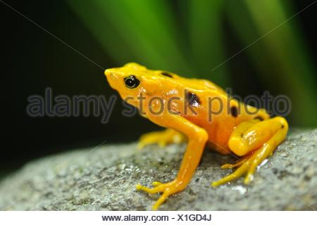 A Panamanian golden frog sits perched on a rock. - Stock Photo