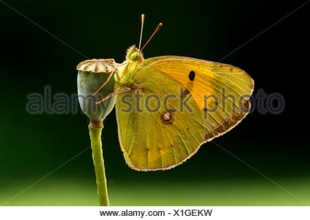 Dark Clouded Yellow (Colias croceus) butterfly, male, Tuscany, Italy - Stock Photo