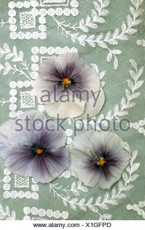 Pansy, Pansy Violet (Viola x wittrockiana, Viola wittrockiana, Viola hybrida), decoration with pansy - Stock Photo