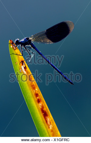 banded blackwings, banded agrion, banded demoiselle (Calopteryx splendens, Agrion splendens), male at a blade of reed, covered with drops of morning dew , Germany, North Rhine-Westphalia - Stock Photo