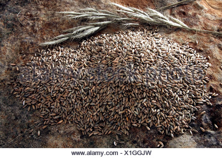 Rye (Secale cereale) with spikes on a slab - Stock Photo