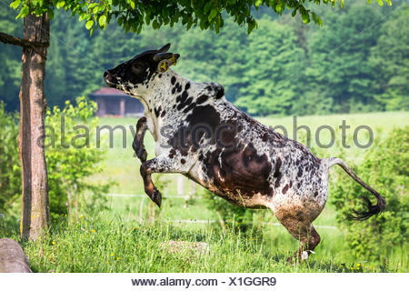 Dwarf Zebu (Bos taurus indicus) jumping over a meadow. Germany - Stock Photo